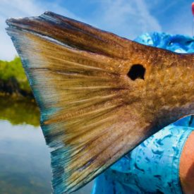 a picture of a redfish caught in Crystal river