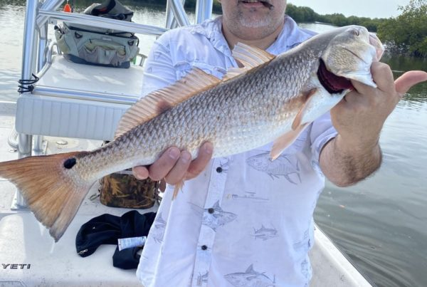 The cooler weather and gusty north winds towards the end of October kept me in the Homosassa River just one day. Michael Herman Smith of Black Diamond in Lecanto brought along with him his son-in-law and grandson from England to enjoy a day of fishing out on the river.